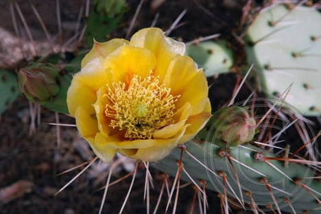 Yellow Prickly Pear Flowers