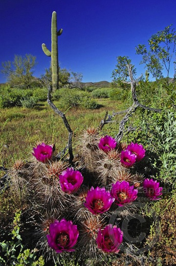 Strawberry Hedgehog Cactus