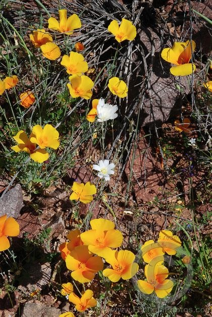 Poppies and Desert Chicory