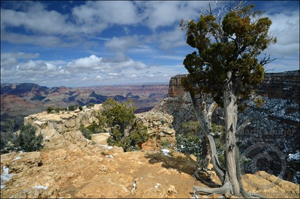 Grand Canyon Juniper