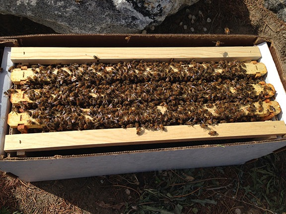 Bees in a Nuc Box