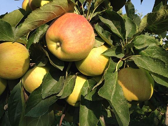 Gala Apples on the Tree