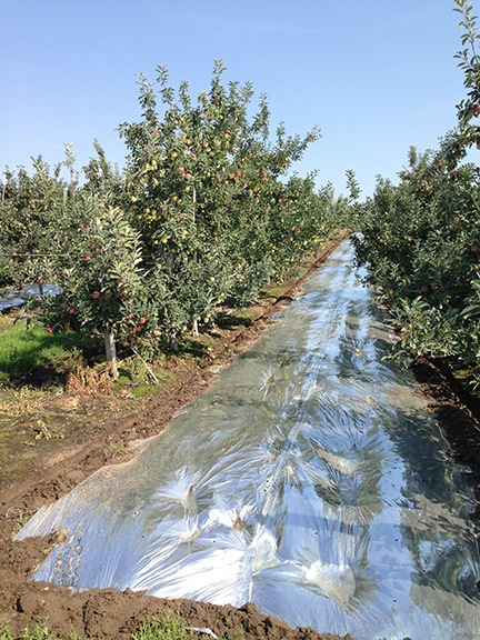 Mylar Sheets between Apple Trees