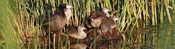 American Coot Family 2
