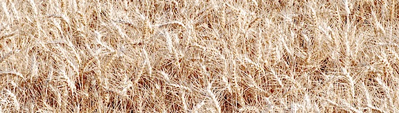 Close Up Wheat