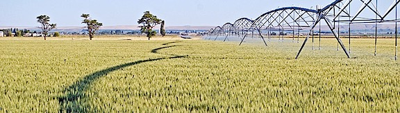 Wheat Irrigation