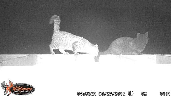 Barn Cats