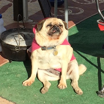 Lucy the Pug