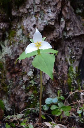 Pacific Trillium, White
