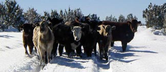 Open Range Cattle