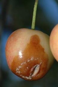 Split Cherry