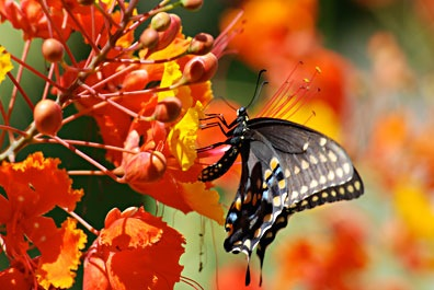 Butterfly in Mexican Bird of Paradise