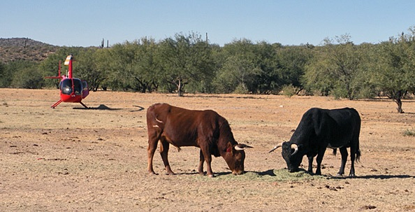 Bulls in the Landing Zone