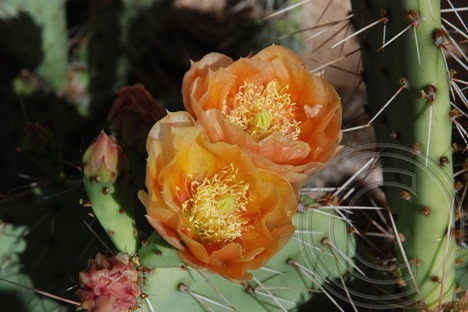 Salmon Prickly Pear Cactus Flowers