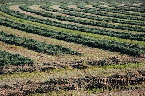 Alfalfa Curves