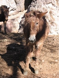 Mule at Phantom Ranch