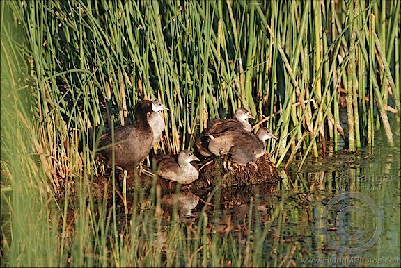 American Coot Family