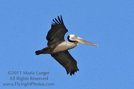 High-Flying Pelican