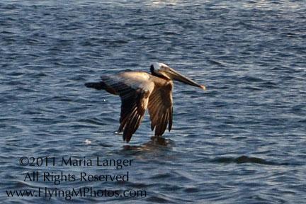 Pelican Over Water