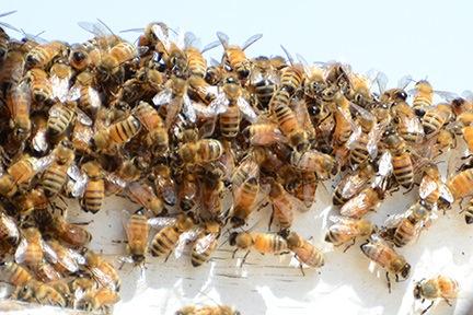 Bees Closeup