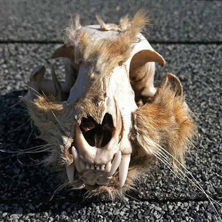 Rabbit Skull?