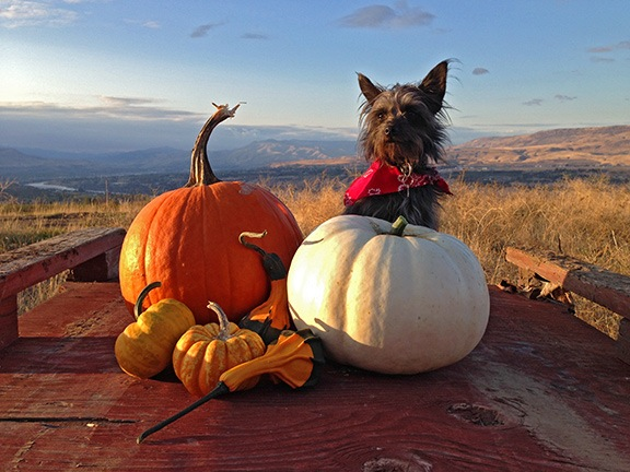 Penny with Pumpkins
