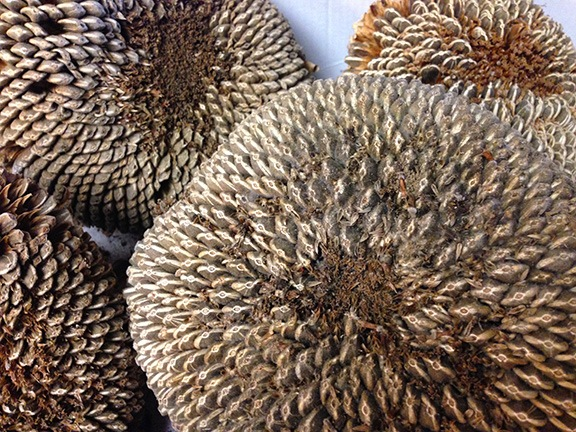 Sunflower Seed Heads