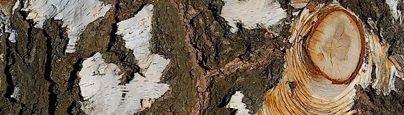 Birch Bark 2