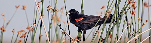 Red Wing Blackbird 1