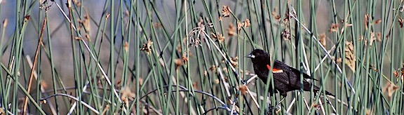 Red Wing Blackbird 2