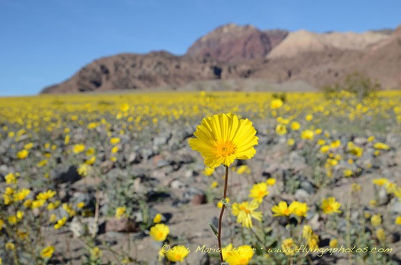 Death Valley Flowers