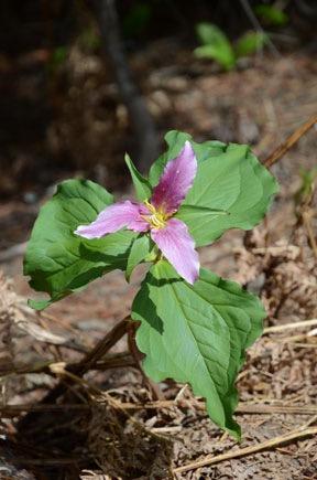 Pacific Trillium, Pink