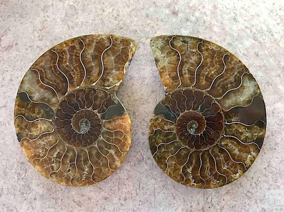 Ammonite-Inside