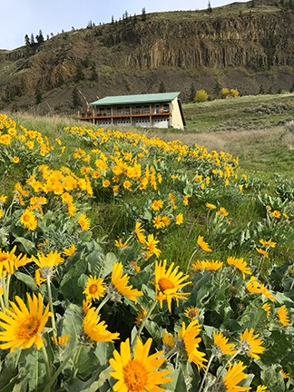 Balsamroot at my House